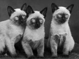 Group of Three Sweet Siamese Kittens Sitting Together Photographic Print by Thomas Fall