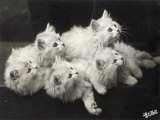 Group of Five Adorable White Fluffy Chinchilla Kittens Lying in a Heap Looking up at Their Owner Photographic Print by Thomas Fall