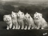 Row of Five Adorable White Fluffy Chinchilla Kittens Photographic Print by Thomas Fall
