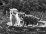 Two Kittens Stand in a Bird Bath Watching Something in the Grass Photographie par Thomas Fall