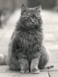 Fluffy Domestic Cat Sitting on the Pavement Photographic Print by Thomas Fall
