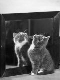 This Small Grey and White Kitten Stares up at the Ceiling While Sitting Next to a Large Mirror Photographic Print by Thomas Fall