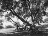 Olive Trees (Olea Europea), Tivoli Photographic Print
