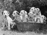 Six of the Puppies are Crowded in the Basket the Seventh is the Clever One as He Sits Outside It Fotografisk tryk af Thomas Fall