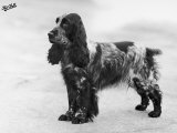 Tracey Witch of Ware Crufts, Best in Show, 1948 and 1950 Photographic Print by Thomas Fall