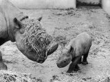 Black Rhinoceros with Straw on Her Face Playing with Her Baby Rhino! Photographie