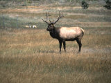An Elk in the Grassland in Colorado Prints by Michael Brown