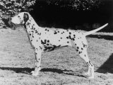 Champion Fanhill Faun Crufts Best in Show 1968 Dog Standing Side On Photographic Print by Thomas Fall