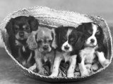 These Four Cavalier King Charles Spaniel Puppies Sit Quietly in the Basket Fotografisk tryk af Thomas Fall
