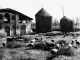 Restone (Figline Valdarno). Haystacks and Grazing Sheep Photographic Print