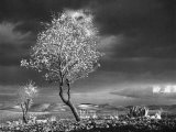 Almond Tree in Bloom in Sicily Photographic Print