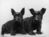 Two Timid Looking Black Scottie Puppies Photographic Print by Thomas Fall