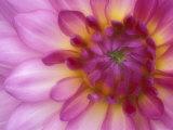 Dahlia, Sammamish, Washington, USA Fotodruck von Darrell Gulin