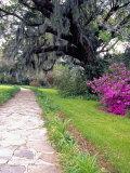 Pathway in Magnolia Plantation and Gardens, Charleston, South Carolina, USA Fotografisk tryk af Julie Eggers