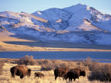 Bison above Great Salt Lake, Antelope Island State Park, Utah, USA Photographic Print by Scott T. Smith