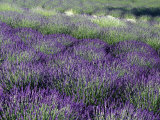 Lavender Fields in Sequim, Olympic Peninsula, Washington, USA Photographie par Jamie &amp; Judy Wild