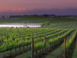 Sunrise on the Fog Behind Vineyard in Napa Valley, California, USA Photographic Print by Janis Miglavs