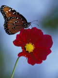 Butterfly on Cosmos in the Woodland Park Zoo, Seattle, Washington, USA Photographic Print by Darrell Gulin