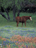 Texas Paintbrush and Bluebonnets, East of Lytle Horse, Texas, USA Lámina fotográfica por Gulin, Darrell