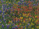 Texas Paintbrush and Bluebonnets with Low Bladderpod, Hill Country, Texas, USA Photographic Print by Adam Jones