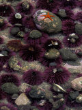 Purple Sea Urchins and Star Fish, Salt Creek Recreational Area, Washington, USA Fotografie-Druck von Jamie & Judy Wild