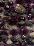 Purple Sea Urchins and Star Fish, Salt Creek Recreational Area, Washington, USA Photographic Print by Jamie & Judy Wild