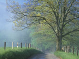 Foggy Road and Oak Tree, Cades Cove, Great Smoky Mountains National Park, Tennessee, USA Photographic Print by Darrell Gulin