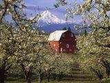 Red Barn in Pear Orchard, Mt. Hood, Hood River County, Oregon, USA Fotografisk tryk af Julie Eggers