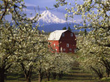 Red Barn in Pear Orchard, Mt. Hood, Hood River County, Oregon, USA Photographic Print by Julie Eggers