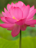 Perry's Water Garden, Lotus Flower, Franklin, North Carolina, USA Photographic Print by Joanne Wells