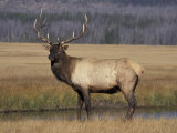 Elk Bull in Meadow, Yellowstone National Park, Wyoming, USA Photographic Print by Jamie & Judy Wild