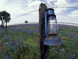 Blue Lantern, Oak Tree and Wildflowers, Llano, Texas, USA Photographic Print by Darrell Gulin