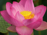 Perry's Water Garden, Lotus Blossom, Franklin, North Carolina, USA Photographie par Joanne Wells