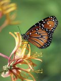 Queen Monarch on Spiderflower in Woodland Park Zoo Rose Garden, Washington, USA Photographic Print by Jamie & Judy Wild
