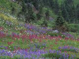 Meadow of Subalpine Lupine and Magenta Paintbrush, Mt. Rainier National Park, Washington, USA Photographic Print by Jamie &amp; Judy Wild