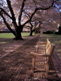 Japanese Cherry Trees at the University of Washington, Seattle, Washington, USA Photographic Print by Jamie &amp; Judy Wild
