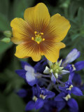 Yellow Flax, Bluebonnets, Moore, Texas, USA Photographic Print by Darrell Gulin