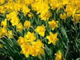 Lisa S. Engelbrecht - Yellow Daffodils, Elmira College, New York, USA - Fotografik Baskı