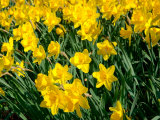 Yellow Daffodils, Elmira College, New York, USA Photographic Print by Lisa S. Engelbrecht