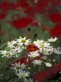 White Daisies and Red Poppies, near Crosby, Tennessee, USA Photographic Print by Adam Jones