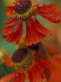 Sneeze Weed Flower Bloom, Sammamish, Washington, USA Photographic Print by Darrell Gulin