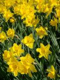 Yellow Daffodils, Elmira College, New York, USA Photographic Print by Lisa S. Engelbrecht