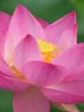 Perry's Water Garden, Lotus Blossom, Franklin, North Carolina, USA Photographie par Joanne Wells