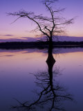 Bladcypress Tree at Sunset, Reelfoot National Wildlife Refuge, Tennessee, USA Photographic Print by Adam Jones