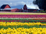 Tulip Display Field, Washington, USA Photographic Print by William Sutton