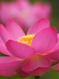 Perry&#39;s Water Garden, Lotus Blossom, Franklin, North Carolina, USA Photographic Print by Joanne Wells