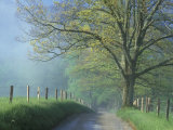 Foggy Road and Oak, Cades Cove, Great Smoky Mountains National Park, Tennessee, USA 写真プリント : ダリル・グリン