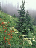 Indian Paintbrush and Cow Parsnip, Olympic National Park, Washington, USA Photographie par Adam Jones