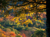 Yellow Leaves of a Sugar Maple, Green Mountains, Vermont, USA Photographic Print by Jerry & Marcy Monkman