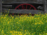 Buttercups and Wagon Wheel, Pioneer Homestead, Great Smoky Mountains National Park, North Carolina Photographic Print by Adam Jones